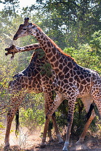 Reticulated giraffes (Giraffa camelopardalis) two males fighting in the bush, South Africa.  -  Christophe Courteau