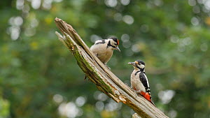 Male Great spotted woodpecker (Dendrocopos major) feeding a chick pecking at a branch, Carmarthenshire, Wales, UK, June. - Dave Bevan