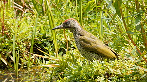 Juvenile Green woodpecker (Picus viridis) bathing, Carmarthenshire, Wales, UK, June. - Dave Bevan
