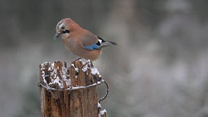 Eurasian jay (Garrulus glandarius) retrieving food from a cache in a snow covered gatepost, Carmarthenshire, Wales, UK, November. - Dave Bevan