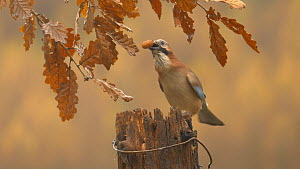 Eurasian jay (Garrulus glandarius) retrieving acorns from a cache in a rotting gatepost, Carmarthenshire, Wales, UK, November.  -  Dave Bevan