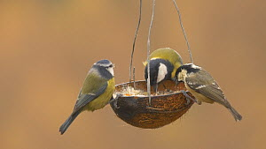 Great tit (Parus major), Blue tit (Cyanistes caeruleus) and Coal tit (Periparus ater) feeding from a coconut shell filled with fat, Carmarthenshire, Wales, UK, November.  -  Dave Bevan