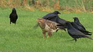 Common buzzard (Buteo buteo) feeding on scraps of meat, with Carrion crows (Corvus corone) and Eurasian magpies (Pica pica) in the background, Llanddeusant Red Kite Feeding Station, Carmarthenshire, W...  -  Dave Bevan