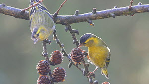 Two male Eurasian siskins (Carduelis spinus) feeding on cones from a European larch treee (Larix decidua), Carmarthenshire, Wales, UK, January. - Dave Bevan