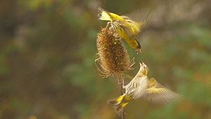 Pair of Eurasian siskins (Carduelis spinus) squabbling over seeds on a Common teasel (Dipsacus fullonum) seed head, Carmarthenshire, Wales, UK, January. - Dave Bevan