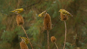 Small group of Eurasian siskins (Carduelis spinus) feeding from Common teasel (Dipsacus fullonum) seed heads, Carmarthenshire, Wales, UK, January. - Dave Bevan
