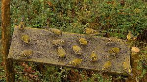 Small flock of Eurasian siskins (Carduelis spinus) feeding and squabbling at a bird table, Carmarthenshire, Wales, UK, February.  -  Dave Bevan