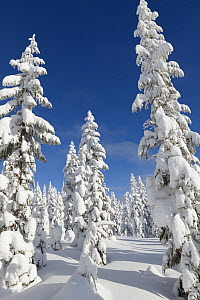 Snow covered trees, Amabilis Mountain, Mount Baker-Snoqualmie National Forest, Washington, USA. December 2015. - Kirkendall-Spring