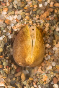 Solid orb mussel (Sphaerium solidum), Europe, July.  Controlled conditions.  -  Jan  Hamrsky
