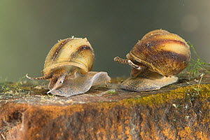 River snails (Viviparus contectus), Europe, July.  Controlled conditions.  -  Jan  Hamrsky