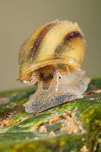 River snail (Viviparus contectus), Europe, July.  Controlled conditions.  -  Jan  Hamrsky