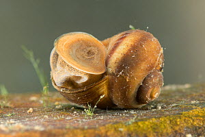 River snail (Viviparus contectus) closing shell opening with operculum, Europe, July.  Controlled conditions.  -  Jan  Hamrsky