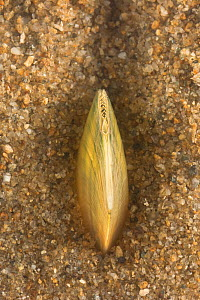 Swan mussel (Anodonta cygnea) burrowing into the sand, Europe, August.  Controlled conditions.  -  Jan  Hamrsky