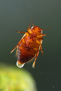 Diving beetle (Platambus maculatus), Europe, August.  Controlled conditions. - Jan  Hamrsky