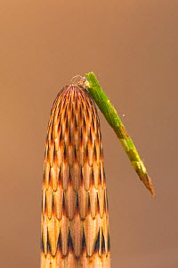Case-building caddisfly larva (Triaenodes bicolor) on Horsetail (Equisetum sp), Europe, May.  Controlled conditions.  -  Jan  Hamrsky