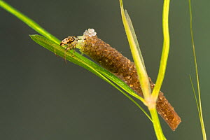 Case-building caddisfly larva (Trichoptera), Europe, June.  Controlled conditions.  -  Jan  Hamrsky