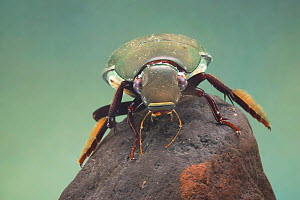 Great silver water beetle (Hydrophilus piceus) female, Europe, May.  Controlled conditions.  -  Jan  Hamrsky