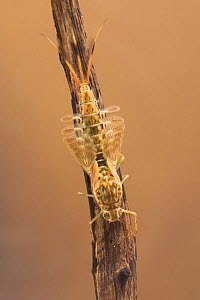 Summer mayfly nymph (Siphlonurus lacustris), Europe, May.  Controlled conditions.  -  Jan  Hamrsky