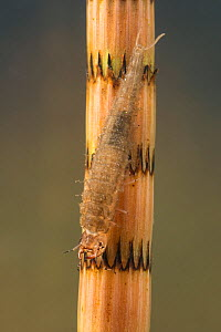 Water scavenger beetle larva (Hydrophilidae) on Horsetail (Equisetum sp) Europe, May.  Controlled conditions. - Jan  Hamrsky