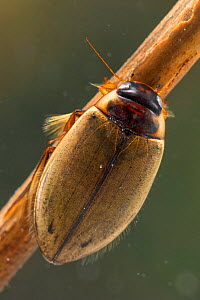 Diving beetle (Colymbetes fuscus), Europe, June.  Controlled conditions. - Jan  Hamrsky