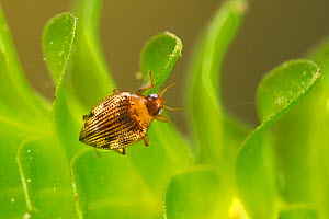 Diving beetle (Haliplus ruficollis), Europe, June.  Controlled conditions. - Jan  Hamrsky