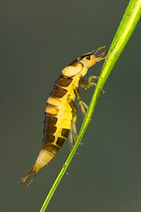 Diving beetle larva (Hyphydrus ovatus), Europe, June.  Controlled conditions. - Jan  Hamrsky