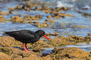 African (black) oystercatcher (Haematopus moquini) hunting on coastline, De Hoop Nature Reserve, Western Cape, South Africa  -  Ann  & Steve Toon