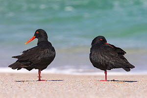 African (black) oystercatchers (Haematopus moquini) two resting on beach, De Hoop Nature Reserve, Western Cape, South Africa  -  Ann  & Steve Toon