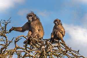 Chacma baboons (Papio ursinus) sitting in tree, De Hoop Nature Reserve, Western Cape, South Africa  -  Ann  & Steve Toon