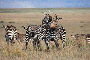 Cape mountain zebra (Equus zebra zebra) stallions wrestling, Mountain Zebra National Park, Eastern Cape, South Africa  -  Ann  & Steve Toon