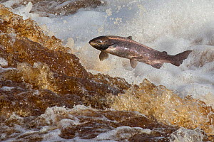 Atlantic salmon (Salmo salar) leaping on upstream migration, River Tyne, Hexham, Northumberland, UK, November  -  Ann  & Steve Toon