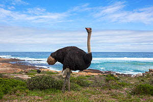 Ostrich (Struthio camelus) male standing in landscape, Table Mountain National Park, Western Cape, South Africa - Ann  & Steve Toon