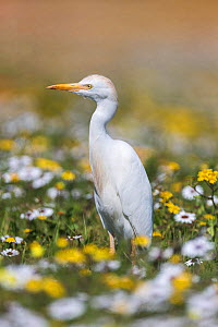 Western cattle egret (Bubulcus ibis) among spring wild flowers, West Coast National Park, South Africa - Ann  & Steve Toon