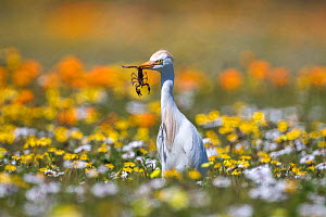 Western cattle egret (Bubulcus ibis) with scorpion prey, West Coast National Park, South Africa - Ann  & Steve Toon