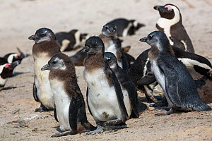 African penguin (Spheniscus demersus) chicks in colony on Foxy Beach, Table Mountain National Park, Simon's Town, Cape Town, South Africa,  -  Ann  & Steve Toon