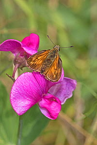 Male Large skipper butterfly (Ochlodes sylvanus) on Everlasting sweet pea flower, Brockley Cemetery, Lewisham, London, England, July.  -  Rod Williams