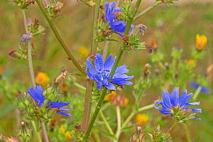 Chicory (Cichorium intybus) in flower, Sutcliffe Park Nature Reserve, Eltham, London, England, July.  -  Rod Williams
