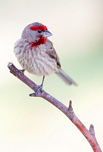 House Finch (Haemorhous / Carpodacus mexicanus) male, Milpa Alta Forest, Mexico, May  -  Claudio  Contreras