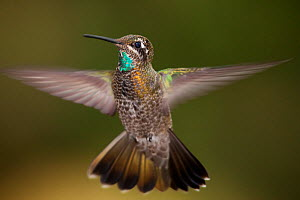Magnificent hummingbird (Eugenes fulgens) immature male, flying, Milpa Alta Forest, Mexico, May  -  Claudio  Contreras