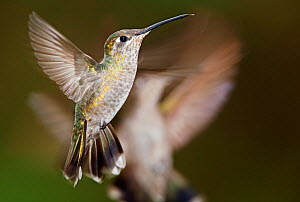 Magnificent hummingbird (Eugenes fulgens), juvenile, flying, Milpa Alta Forest, Mexico, May  -  Claudio  Contreras