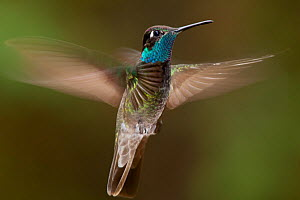Magnificent hummingbird (Eugenes fulgens) male, flying, Milpa Alta Forest, Mexico, May  -  Claudio  Contreras