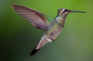 Magnificent hummingbird (Eugenes fulgens) immature, flying, Milpa Alta Forest, Mexico, May  -  Claudio  Contreras