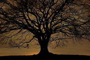 English oak tree (Quercus robur) in moonlight, Nauroth, Germany, February.  -  Solvin Zankl