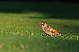 Green Woodpecker (Picus viridis) on lawn, Isle of Wight, Hampshire, UK August - Robin Chittenden