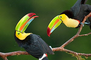 Keel billed toucan (Ramphastos sulfuratus) two perched together interacting, Costa Rica.  -  Bence  Mate