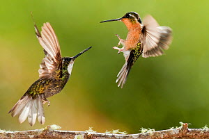 White-throated mountain gem hummingbirds (Lampornis castaneoventris) fighting, Savegre, Costa Rica  -  Bence  Mate