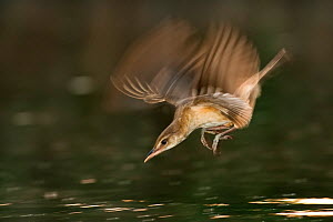 Great reed warbler (Acrocephalus arundinaceus) taking fish from water, Hungary, June. - Bence  Mate