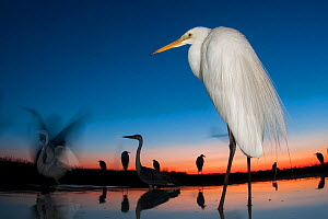 Great egret (Ardea alba) at twilight, Lake Csaj, Kiskunsagi National Park, Hungary. July.  -  Bence  Mate