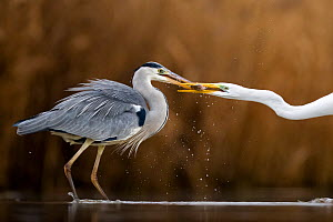 Great egret (Ardea alba) and Grey heron (Ardea cinerea) squabbling, Lake Csaj, Kiskunsagi National Park, Pusztaszer, Hungary. January.  -  Bence  Mate