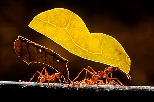 Leaf cutter ants (Atta sp) carrying plant matter, Costa Rica.  -  Bence  Mate